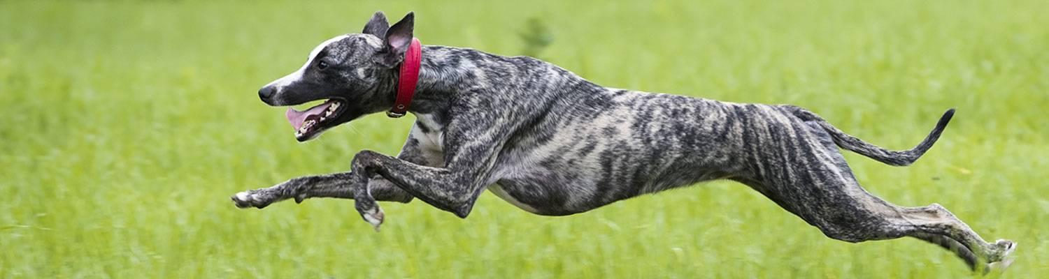 Greyhound Dog | Learn how to adopt a retired greyhound racing dog